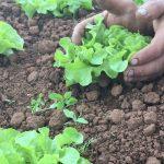Loving Lettuce