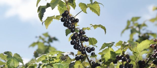 Field to Plate: Blackcurrants